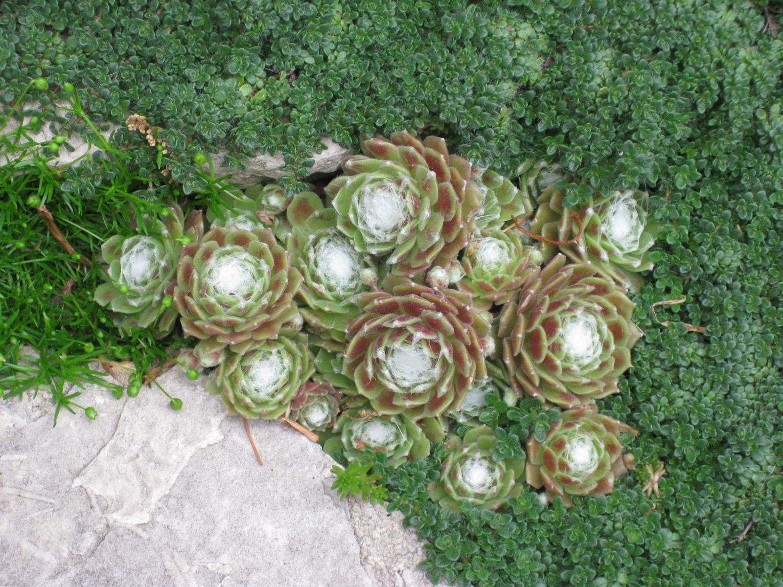 How to grow irish moss ground cover - Hens And Chicks Irish Moss And Baby Tears Cozmd Wordpress Com